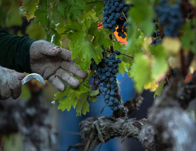 Harvesting Grapes in Stags Leap District