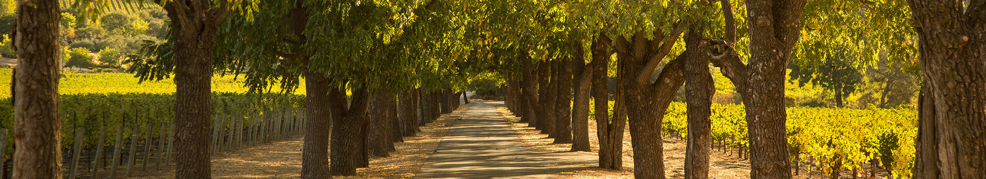 Long, gorgeous driveway adjacent to Stags' Leap Vineyard